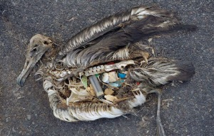 pacific_ocean_garbage_patch_pollution_plastic_albatross_chick_q_48866